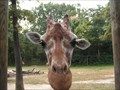 Image for Feed the Giraffes at Giraffe Overlook - Riverbanks Zoo, Columbia, SC