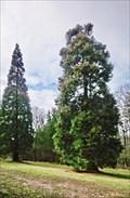 Image for Sequoiadendron giganteum, Prague, Czech Republic