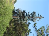 Image for Pine Tree Cell Tower - Alamo, CA