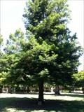 Image for Jean A. Bell Kellogg Tree - Capitol Park - Sacramento, CA