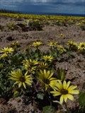 "Image for ""Cape Dandelion"" flower field - Peniche, Portugal"