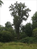 Image for Largest Black Cottonwood Tree in the United States - Marion County, Oregon
