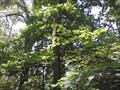 Image for Arkansas Champion Chestnut Tree - Compton Gardens - Bentonville AR