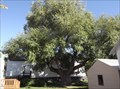 Image for Willow Heritage Tree - Boissevain MB
