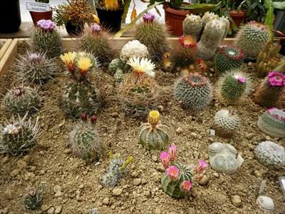 Foto von der einmal jährlich stattfindenden Kakteenausstellung. // Photo of the once-annual cactus exhibition.