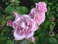 Image for Earthkind Roses - Grapevine Texas