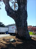 Image for Centennial Tree - San Francisco, CA