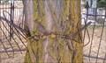 Image for Fence-eating Tree - St. Joseph Catholic Cemetery - Yreka, CA