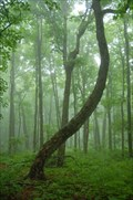 Image for Trail Tree on Mount Arvon