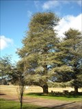 Image for Blue Atlas Cedar, Exeter, NSW