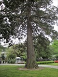 Image for George Washington Bicentennial Tree - Sacramento, CA
