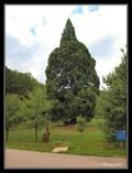 Image for Sequoiadendron giganteum (Sekvojovec obrovský) - Chabáne, Czech Republic