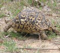 Image for Leopard Tortoise at Kruger National Park - Mpumalanga, South Africa