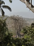 Image for Poilon - The oldest tree in Cape verde