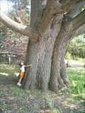 Image for BCPP Quercus Alba