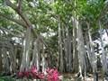 Image for Edison Estate Banyan Tree - Ft. Myers, FL