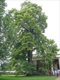 """Image for Thomas Jefferson's """"Juno"""" - Tulip Poplar - Monticello, VA"""