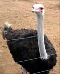 Image for Safari Ostrich Show Farm - Oudtshoorn, South Africa
