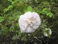 Image for Rose Garden - Cambridge University Botanic Gardens - Brookside, Cambridge, UK