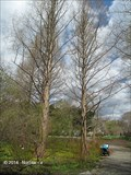 Image for Dawn Redwood (Metasequoia glyptostoboides) - Arnold Arboretum - Boston, MA