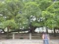 Image for Big Banyan Tree - Yangshuo, Guangxi, PR China