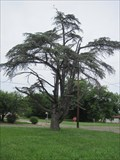 Image for Oklahoma's Champion Atlas Cedar