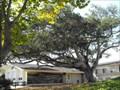 Image for Elena Soler Chaine live oak - Monterey, California