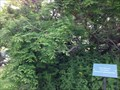 Image for Metasequoia glyptostroboides - Montreal, Quebec, Canada