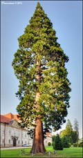 Image for Sequoiadendron giganteum - Premonstrate monastery Jasov (East Slovakia)