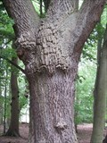 Image for Green Man, Oak Tree, Haughmond Woods, Shrewsbury, Shropshire, England, UK