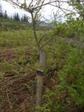 Image for Millennium Oak, Selattyn Hill, Oswestry, Shropshire, England, UK
