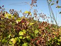 Image for Wild Blackberries - Alverca, Portugal