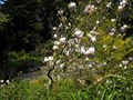 Image for De Laveaga Magnolias - San Francisco, California