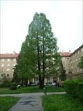 Image for Metasekvoje cínská (Metasequoia glyptostroboides)  - Poruba, Ostrava, Czech republic