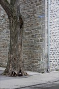 Image for Cannonball Eating Tree - Quebec City, Qc .Canada