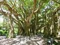 Image for Banyan Tree - Cypress Gardens, FL. Lake Wales.