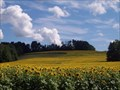 Image for Sunflower Fields - Camillus, New York