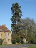 Image for Sequoiadendron giganteum - Adstone House, Northamptonshire, UK