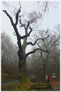 Image for Oldrichuv dub / Oldrich´s Oak, Peruc, CZ