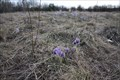 Image for Seasonal Small Pasque Flower Field