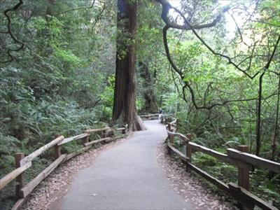 Muir Woods, Giant Tree Alongside Trail