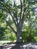 Image for Largest Arkansas Oak - Collins, MS