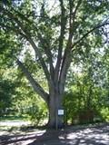 Image for Largest Arkansas Oak - Collins, MS