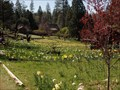 Image for Daffodil Hill, McLaughlin Ranch, Volcano, California