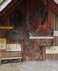 Image for Sitka Spruce - Sooke Region Museum - Sooke, British Columbia, Canada