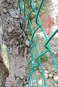 Image for Fence Eating Tree - Castlegar, BC