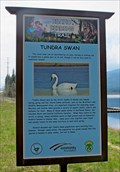 Image for Tundra Swan - McArthur Lake Wildlife Management Area - McArthur, ID
