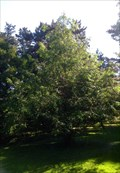 Image for Dawn Redwood - Dominion Arboretum, Central Experimental Farm - Ottawa, Ontario