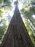 Image for Founders Tree - Humboldt Redwoods State Park, California