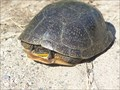 Image for Blanding's Turtle Crossing - Holly, MI